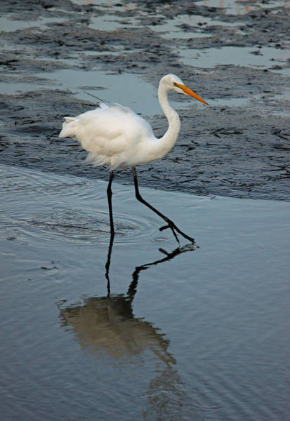 Wall Art - Photograph - Great White Egret - Stepping Lightly by Suzanne Gaff