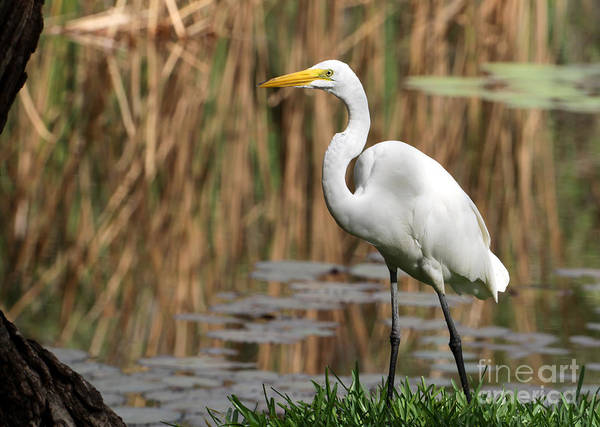 Photograph - Great White Egret Taking A Stroll by Sabrina L Ryan