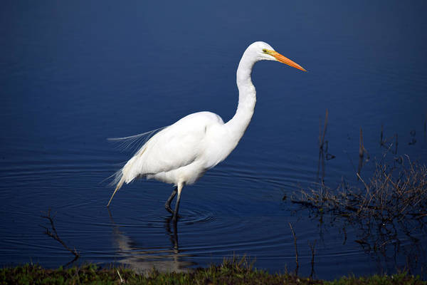 Photograph - Great White Egret Wading by Frank Wilson
