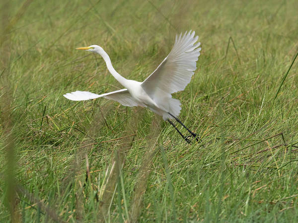Okavango Delta Photograph - Great White Heron Ardea Alba Taking by Panoramic Images