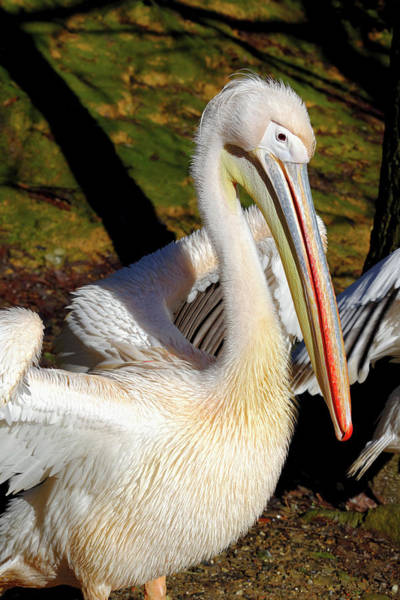 Rosy Photograph - Great White Pelican by Heiti Paves