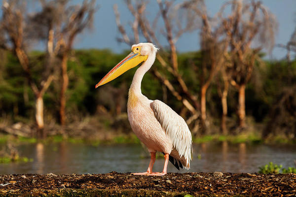 The Great Outdoors Photograph - Great White Pelican, Pelecanus by Anton Petrus
