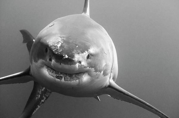 Wall Art - Photograph - Great White Shark Approaching by Morten Beier