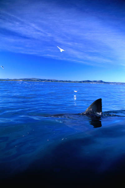 Southern Rock Photograph - Great White Shark Carcharias by Tim Rock/lonely Planet-getty Images