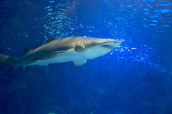 Digital Art - Great White Shark by Chris Flees
