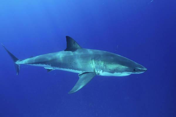 Wall Art - Photograph - Great White Shark, Isla Guadalupe, Baja by Morten Beier