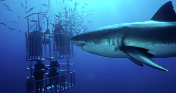 Wall Art - Photograph - Great White Shark Swims By Divers by Morten Beier