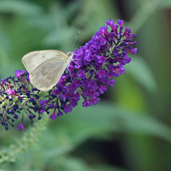 Summertime Wall Art - Photograph - Great White Southern Butterfly by Suzanne Gaff