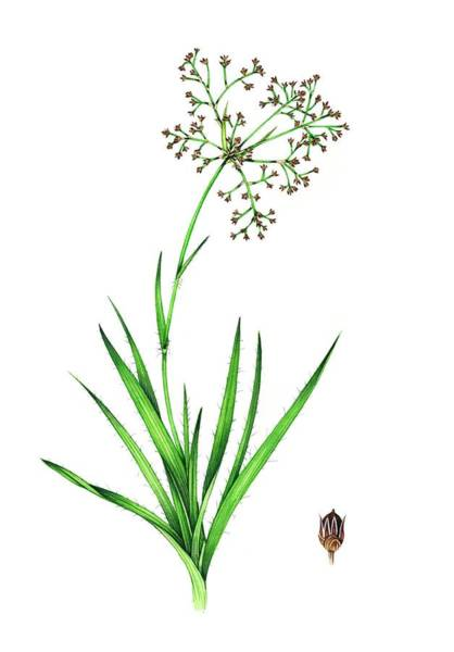 Wall Art - Photograph - Great Wood-rush (luzula Sylvatica) In Flower by Lizzie Harper/science Photo Library