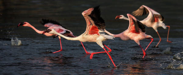 The Great Outdoors Photograph - Greater And Lesser Flamingos Running by Manoj Shah