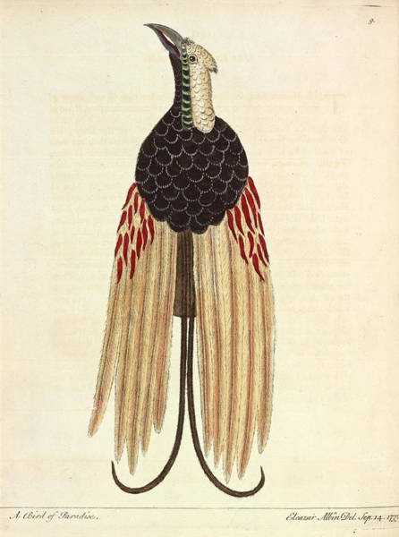 Passeriformes Photograph - Greater Bird Of Paradise by Natural History Museum, London