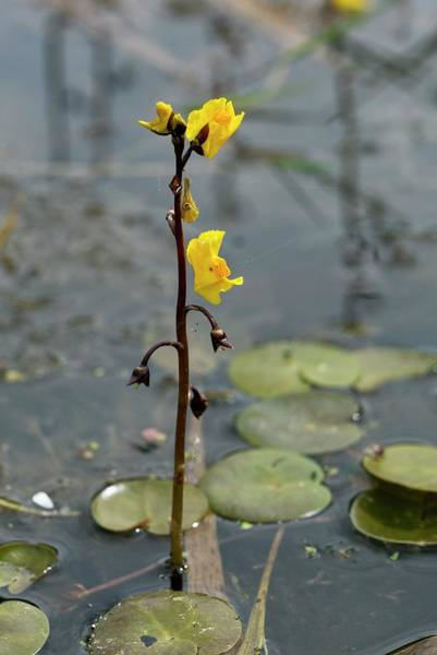 Norfolk Photograph - Greater Bladderwort (utricularia Vulgaris) In Flower by Bob Gibbons/science Photo Library