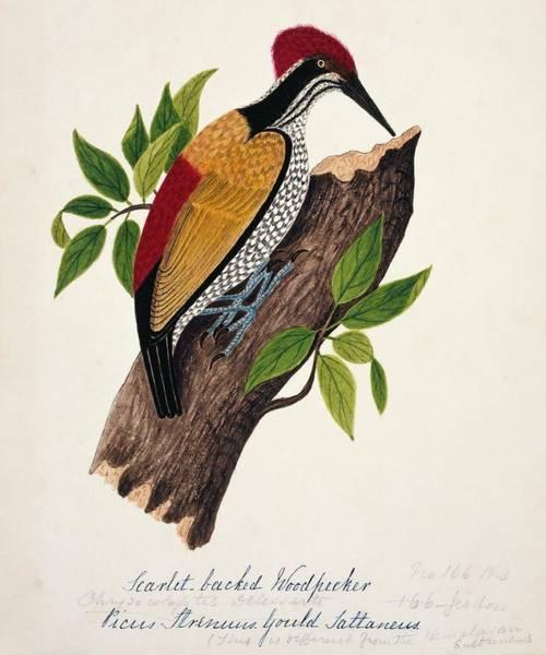 Greater London Photograph - Greater Flame-backed Woodpecker by Natural History Museum, London/science Photo Library