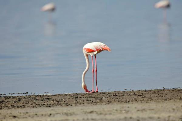 Phoenicopterus Roseus Wall Art - Photograph - Greater Flamingo Foraging by Dr P. Marazzi/science Photo Library