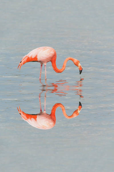 The Great Outdoors Photograph - Greater Flamingo by Gabrielle Therin-weise