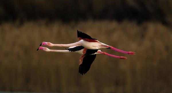 Flying Bird Photograph - Greater Flamingo by Marius Floca