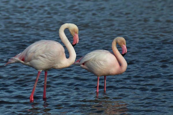Wall Art - Photograph - Greater Flamingo, Parc Ornithologique by Adam Jones