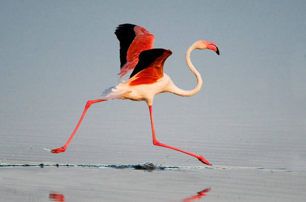 Phoenicopterus Roseus Wall Art - Photograph - Greater Flamingo Phoenicopterus Roseus by Panoramic Images