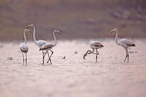 Phoenicopterus Roseus Wall Art - Photograph - Greater Flamingo Phoenicopterus Roseus by Photostock-israel/science Photo Library