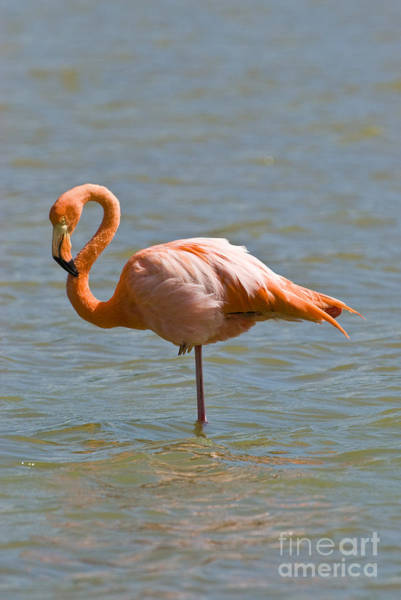 Phoenicopterus Roseus Wall Art - Photograph - Greater Flamingo Preening In Lagoon by William H. Mullins