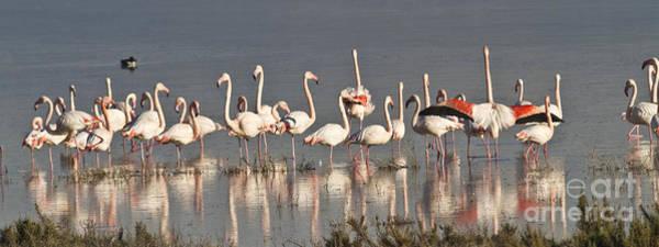 Photograph - Greater Flamingos At Laguna De La Fuente De Piedra by Heiko Koehrer-Wagner