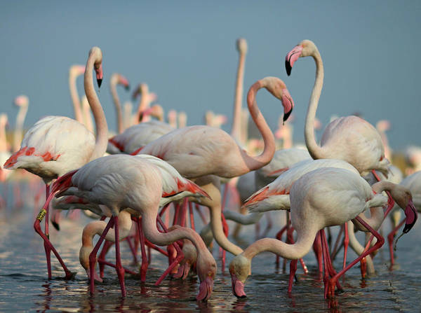 The Great Outdoors Photograph - Greater Flamingos Camargue France by David Tipling