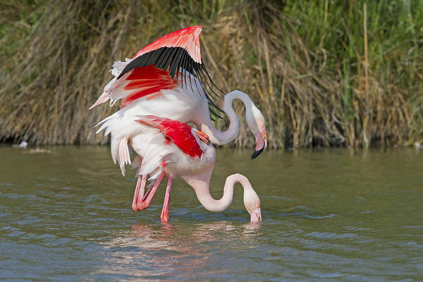 Phoenicopterus Roseus Wall Art - Photograph - Greater Flamingos Mating by M. Watson