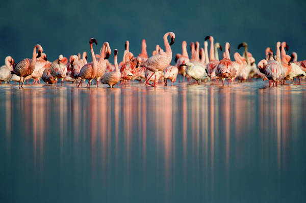 Phoenicopterus Roseus Wall Art - Photograph - Greater Flamingos Phoenicopterus Roseus by Animal Images