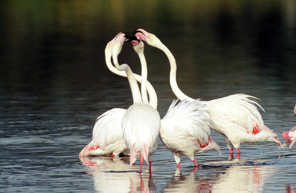 Courtship Display Photograph - Greater Flamingos by Tony Camacho/science Photo Library