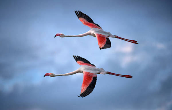 Flying Bird Photograph - Greater Flamingos by Xavier Ortega