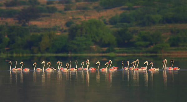 The Great Outdoors Photograph - Greater Flamingos by Zahoor Salmi