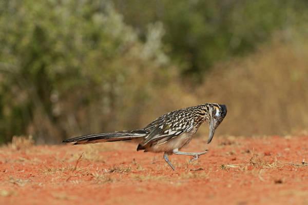 Geococcyx Photograph - Greater Roadrunner (geococcyx by Rolf Nussbaumer