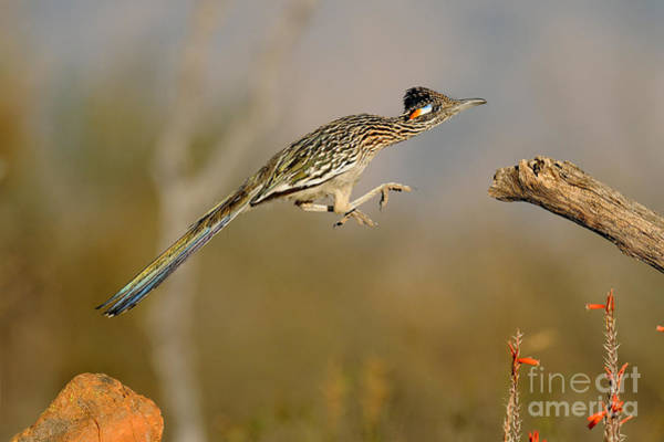 Cuculidae Photograph - Greater Roadrunner Leaping by Scott Linstead