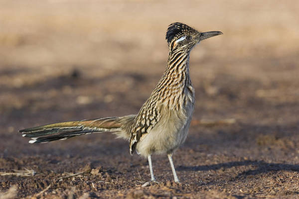 Geococcyx Photograph - Greater Roadrunner New Mexico by Konrad Wothe