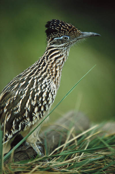Geococcyx Photograph - Greater Roadrunner Portrait by San Diego Zoo