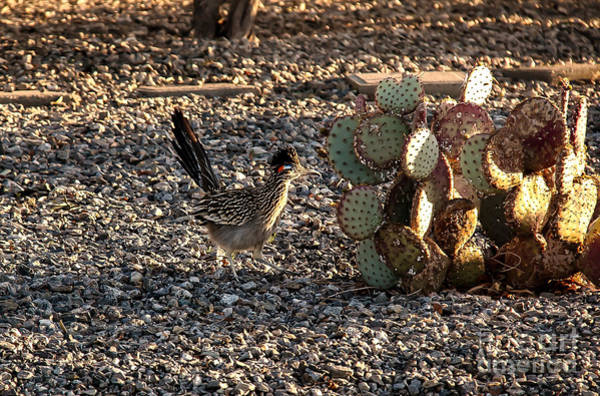 Geococcyx Photograph - Greater Roadrunner by Robert Bales