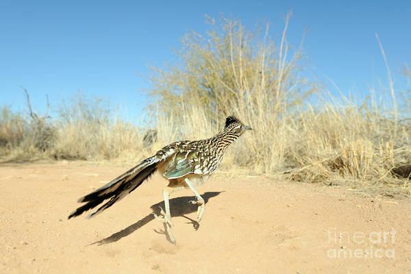 Geococcyx Photograph - Greater Roadrunner Running by Scott Linstead