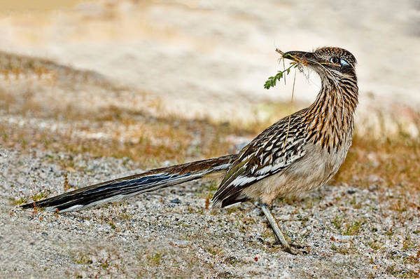 Cuculidae Photograph - Greater Roadrunner With Nest Material by Anthony Mercieca