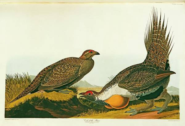 Moorland Photograph - Greater Sage Grouse by Natural History Museum, London/science Photo Library
