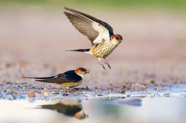 Passeriformes Photograph - Greater Striped Swallows by Peter Chadwick