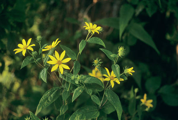 Wall Art - Photograph - Greater Tickseed (coreopsis Major) by Sally Mccrae Kuyper/science Photo Library