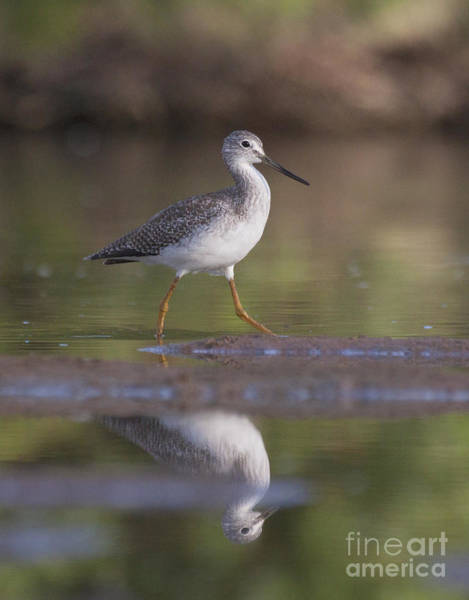 Wall Art - Photograph - Greater Yellow Legs On The Pond by Ruth Jolly