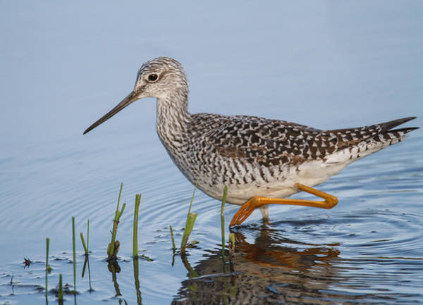 Wall Art - Photograph - Greater Yellowlegs by Angie Vogel