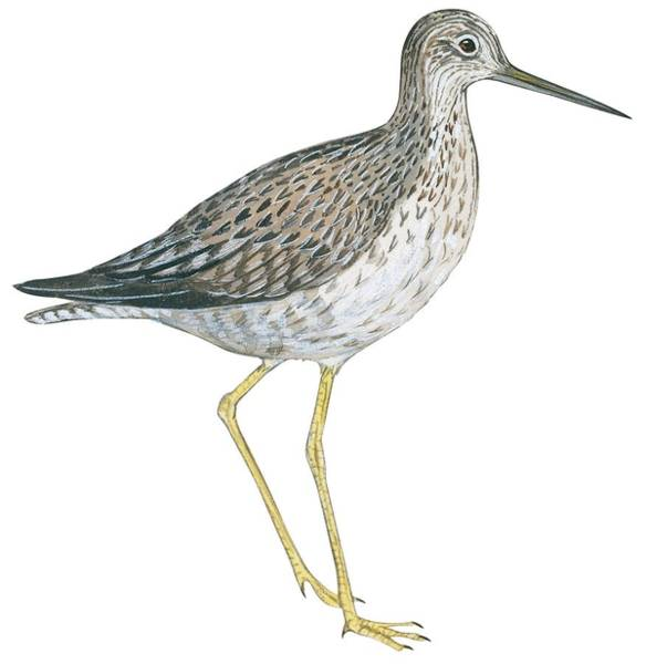 Close Up Drawing - Greater Yellowlegs  by Anonymous