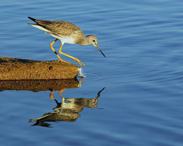 Photograph - Greater Yellowlegs by Tony Beck