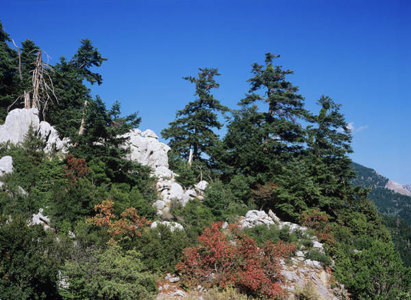 Grecian Photograph - Greek Fir Trees (abies Cephalonica) by Bob Gibbons/science Photo Library