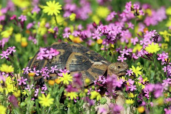 Tortoise Shell Photograph - Greek Tortoise In A Field Of Wild Flowers by Photostock-israel/science Photo Library
