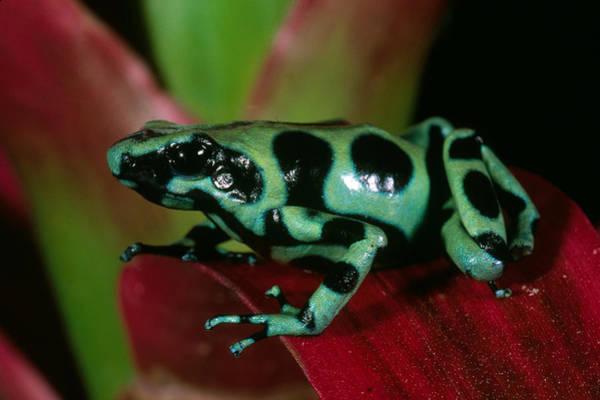 Wall Art - Photograph - Green & Black Poison Dart Frog by Craig K. Lorenz