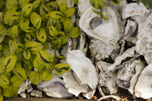 Photograph - Green Abalone by Bryant Coffey