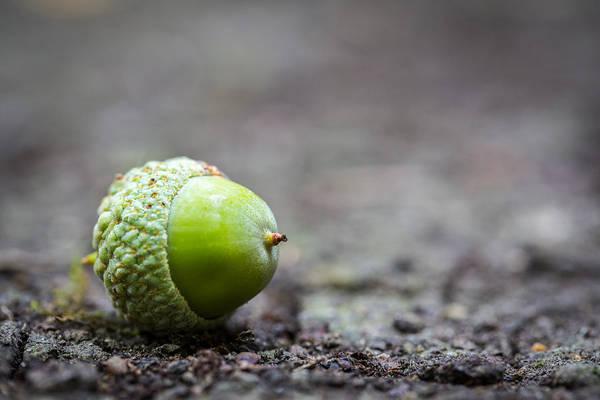 Photograph - Green Acorn. by Gary Gillette